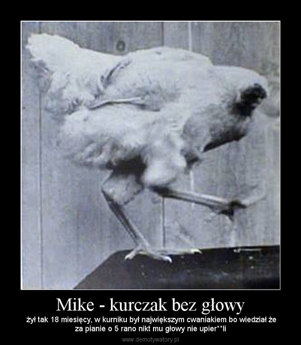 Mike - kurczak bez głowy –  żył tak 18 miesięcy, w kurniku był największym cwaniakiem bo wiedział żeza pianie o 5 rano nikt mu głowy nie upier**li