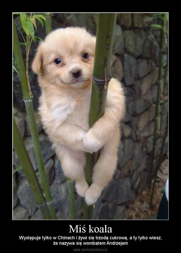 Miś koala – Występuje tylko w Chinach i żywi się trzodą cukrową, a ty tylko wiesz,że nazywa się wombatem Andrzejem