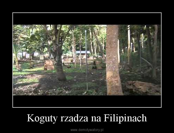 Koguty rzadza na Filipinach –