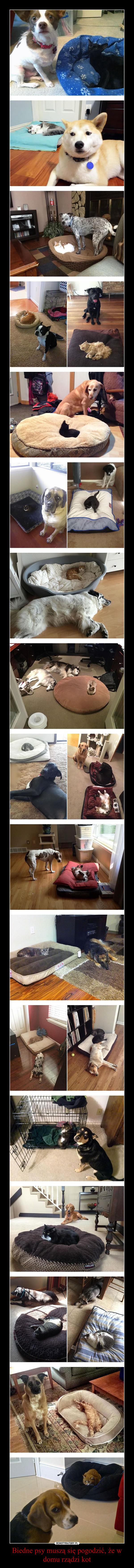 Biedne psy muszą się pogodzić, że w domu rządzi kot –