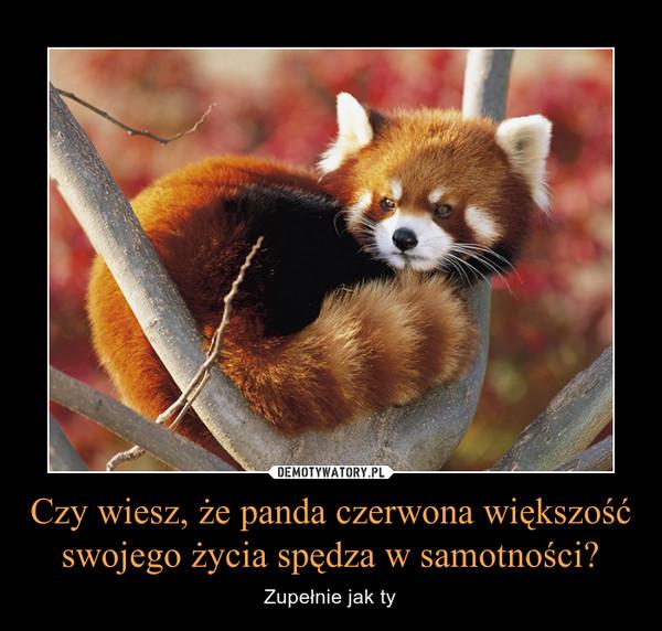 Czy wiesz, że panda czerwona większość swojego życia spędza w samotności? – Zupełnie jak ty