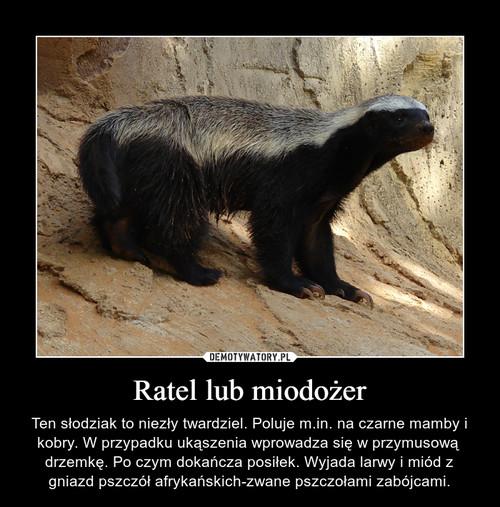 Ratel lub miodożer