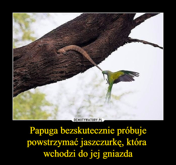 Papuga bezskutecznie próbuje powstrzymać jaszczurkę, która wchodzi do jej gniazda –