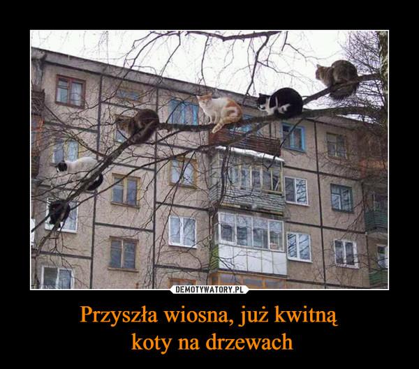 Przyszła wiosna, już kwitną koty na drzewach –