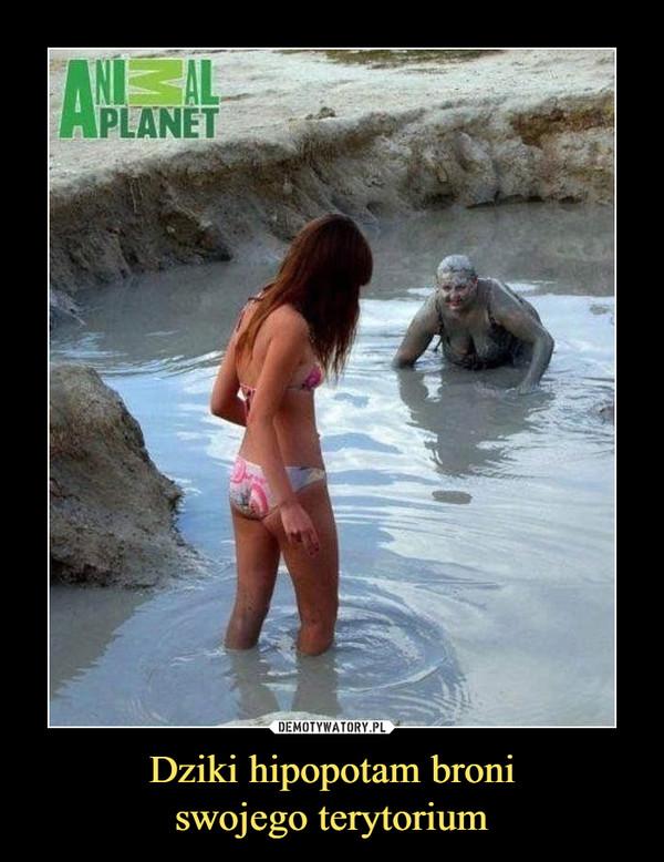Dziki hipopotam broniswojego terytorium –
