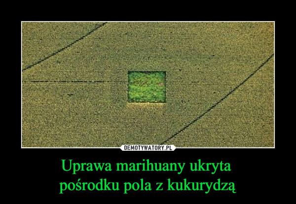 Uprawa marihuany ukryta pośrodku pola z kukurydzą –