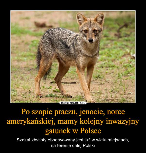 Po szopie praczu, jenocie, norce amerykańskiej, mamy kolejny inwazyjny gatunek w Polsce – Szakal złocisty obserwowany jest już w wielu miejscach,na terenie całej Polski
