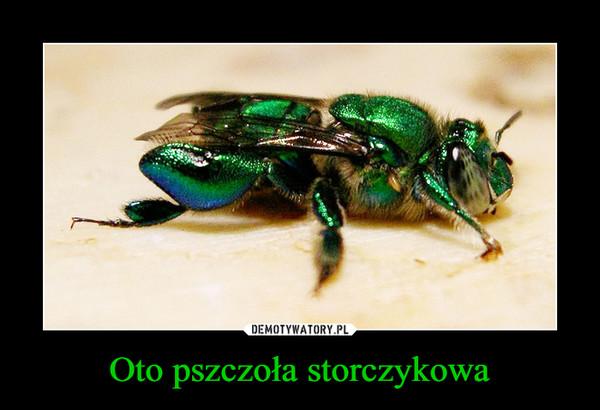 Oto pszczoła storczykowa –