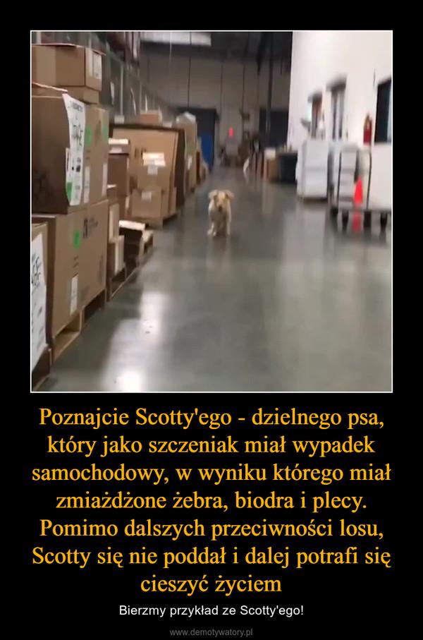 Poznajcie Scotty'ego - dzielnego psa, który jako szczeniak miał wypadek samochodowy, w wyniku którego miał zmiażdżone żebra, biodra i plecy. Pomimo dalszych przeciwności losu, Scotty się nie poddał i dalej potrafi się cieszyć życiem – Bierzmy przykład ze Scotty'ego!