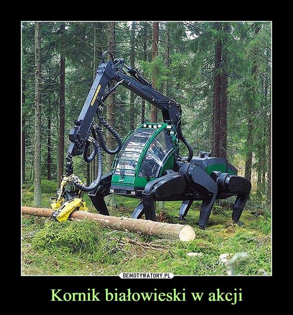 Kornik białowieski w akcji –