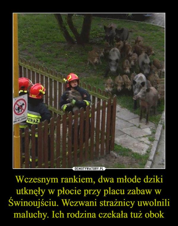 Wczesnym rankiem, dwa młode dziki utknęły w płocie przy placu zabaw w Świnoujściu. Wezwani strażnicy uwolnili maluchy. Ich rodzina czekała tuż obok –