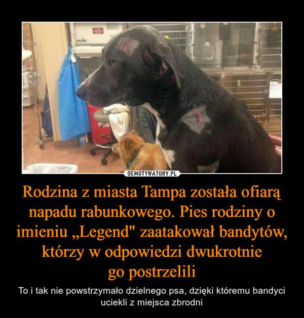 """Rodzina z miasta Tampa została ofiarą napadu rabunkowego. Pies rodziny o imieniu """"Legend"""" zaatakował bandytów, którzy w odpowiedzi dwukrotniego postrzelili – To i tak nie powstrzymało dzielnego psa, dzięki któremu bandyci uciekli z miejsca zbrodni"""