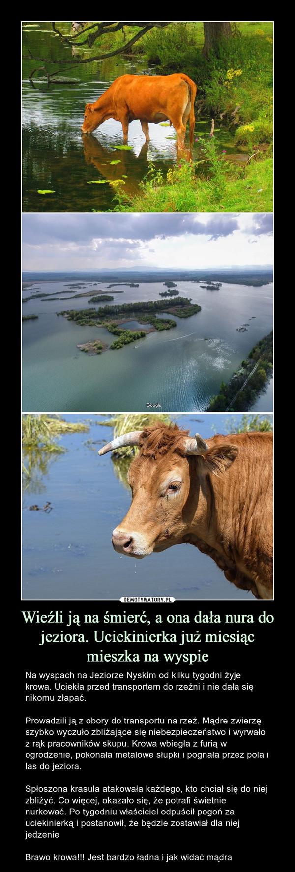 Wieźli ją na śmierć, a ona dała nura do jeziora. Uciekinierka już miesiąc mieszka na wyspie – Na wyspach na Jeziorze Nyskim od kilku tygodni żyje krowa. Uciekła przed transportem do rzeźni i nie dała się nikomu złapać.Prowadzili ją z obory do transportu na rzeź. Mądre zwierzę szybko wyczuło zbliżające się niebezpieczeństwo i wyrwało z rąk pracowników skupu. Krowa wbiegła z furią w ogrodzenie, pokonała metalowe słupki i pognała przez pola i las do jeziora.Spłoszona krasula atakowała każdego, kto chciał się do niej zbliżyć. Co więcej, okazało się, że potrafi świetnie nurkować. Po tygodniu właściciel odpuścił pogoń za uciekinierką i postanowił, że będzie zostawiał dla niej jedzenieBrawo krowa!!! Jest bardzo ładna i jak widać mądra