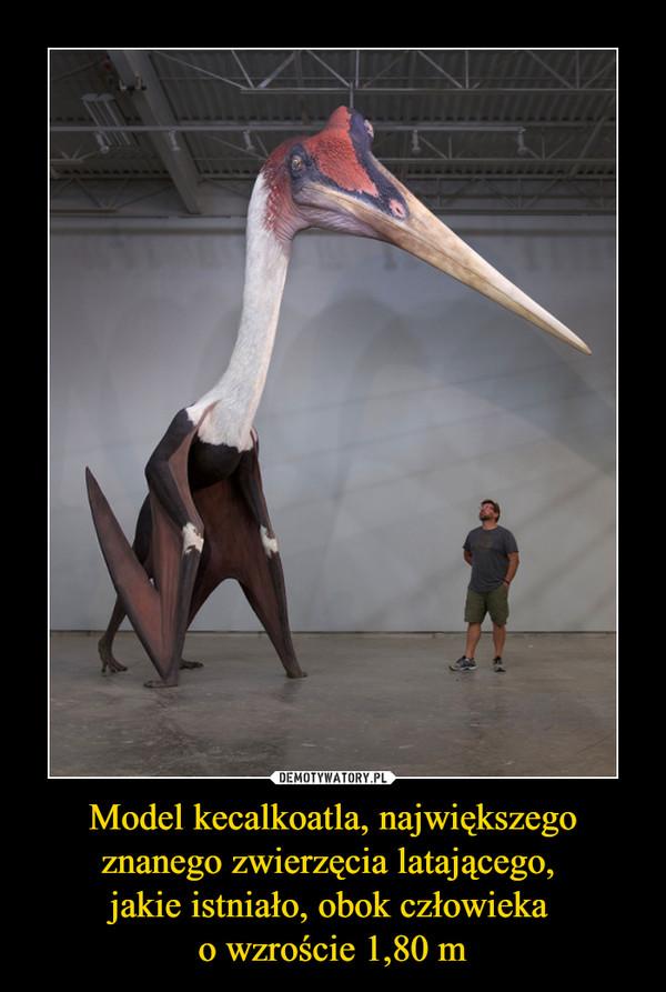 Model kecalkoatla, największego znanego zwierzęcia latającego, jakie istniało, obok człowieka o wzroście 1,80 m –
