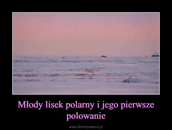Młody lisek polarny i jego pierwsze polowanie –