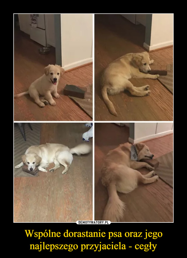 Wspólne dorastanie psa oraz jego najlepszego przyjaciela - cegły –