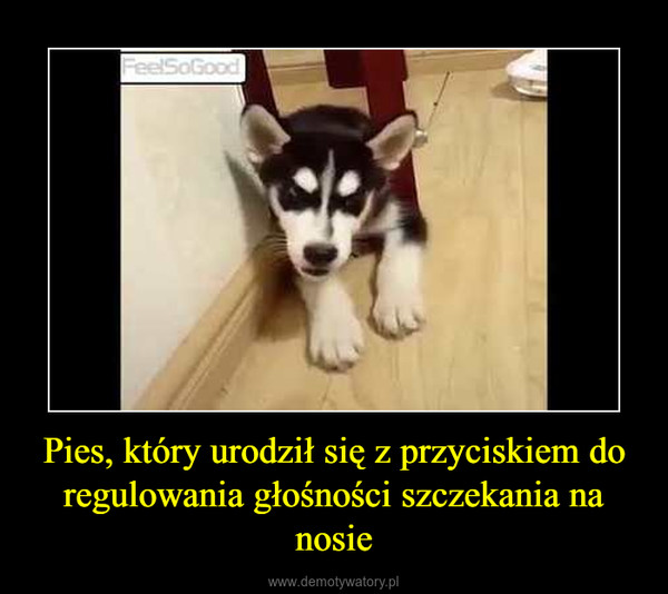Pies, który urodził się z przyciskiem do regulowania głośności szczekania na nosie –