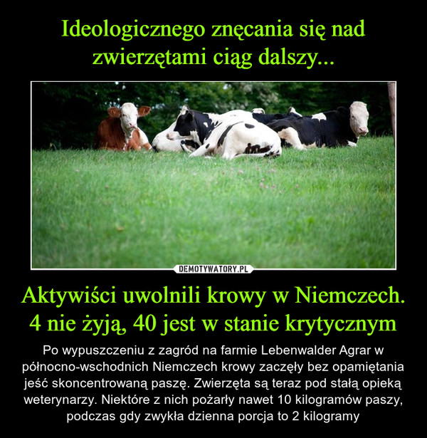 Aktywiści uwolnili krowy w Niemczech. 4 nie żyją, 40 jest w stanie krytycznym – Po wypuszczeniu z zagród na farmie Lebenwalder Agrar w północno-wschodnich Niemczech krowy zaczęły bez opamiętania jeść skoncentrowaną paszę. Zwierzęta są teraz pod stałą opieką weterynarzy. Niektóre z nich pożarły nawet 10 kilogramów paszy, podczas gdy zwykła dzienna porcja to 2 kilogramy