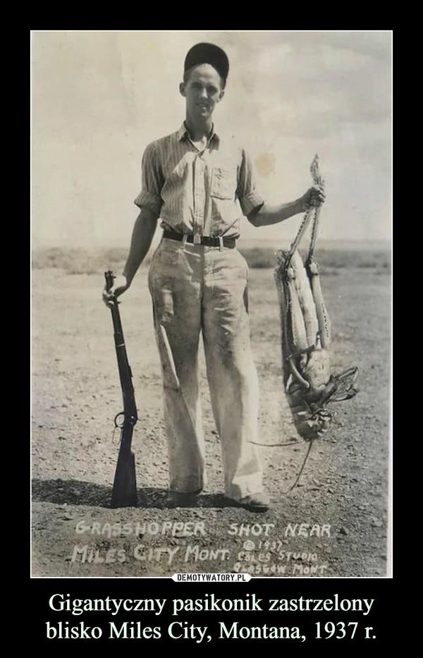 Gigantyczny pasikonik zastrzelony blisko Miles City, Montana, 1937 r. –