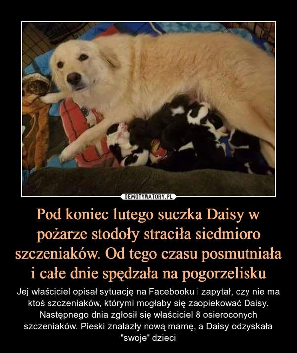 """Pod koniec lutego suczka Daisy w pożarze stodoły straciła siedmioro szczeniaków. Od tego czasu posmutniała i całe dnie spędzała na pogorzelisku – Jej właściciel opisał sytuację na Facebooku i zapytał, czy nie ma ktoś szczeniaków, którymi mogłaby się zaopiekować Daisy. Następnego dnia zgłosił się właściciel 8 osieroconych szczeniaków. Pieski znalazły nową mamę, a Daisy odzyskała """"swoje"""" dzieci"""