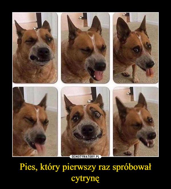 Pies, który pierwszy raz spróbował cytrynę –