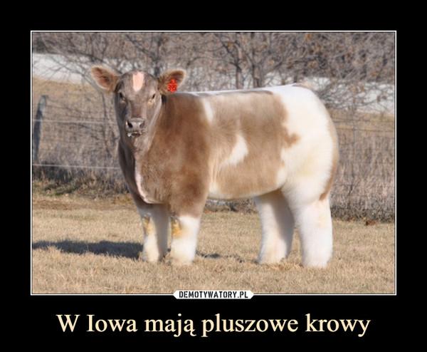 W Iowa mają pluszowe krowy –