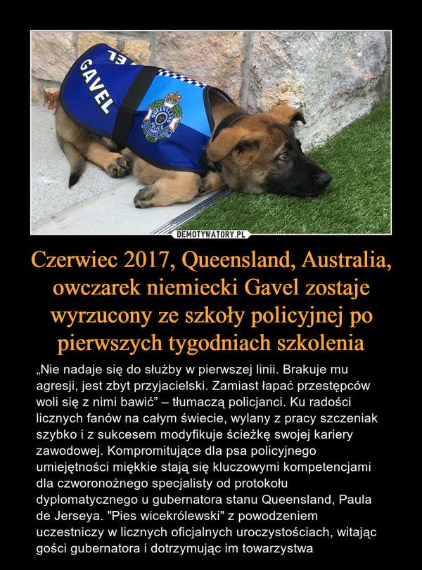 """Czerwiec 2017, Queensland, Australia, owczarek niemiecki Gavel zostaje wyrzucony ze szkoły policyjnej po pierwszych tygodniach szkolenia – """"Nie nadaje się do służby w pierwszej linii. Brakuje mu agresji, jest zbyt przyjacielski. Zamiast łapać przestępców woli się z nimi bawić"""" – tłumaczą policjanci. Ku radości licznych fanów na całym świecie, wylany z pracy szczeniak szybko i z sukcesem modyfikuje ścieżkę swojej kariery zawodowej. Kompromitujące dla psa policyjnego umiejętności miękkie stają się kluczowymi kompetencjami dla czworonożnego specjalisty od protokołu dyplomatycznego u gubernatora stanu Queensland, Paula de Jerseya. """"Pies wicekrólewski"""" z powodzeniem uczestniczy w licznych oficjalnych uroczystościach, witając gości gubernatora i dotrzymując im towarzystwa"""