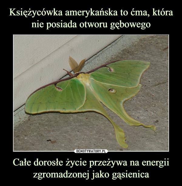 Całe dorosłe życie przeżywa na energii zgromadzonej jako gąsienica –