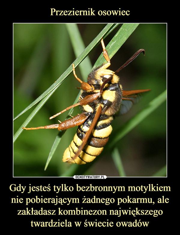 Gdy jesteś tylko bezbronnym motylkiem nie pobierającym żadnego pokarmu, ale zakładasz kombinezon największego twardziela w świecie owadów –