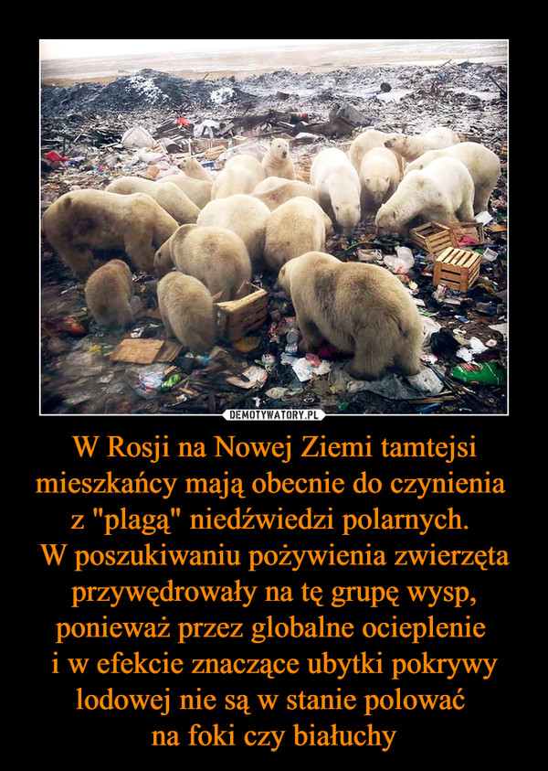"""W Rosji na Nowej Ziemi tamtejsi mieszkańcy mają obecnie do czynienia z """"plagą"""" niedźwiedzi polarnych. W poszukiwaniu pożywienia zwierzęta przywędrowały na tę grupę wysp, ponieważ przez globalne ocieplenie i w efekcie znaczące ubytki pokrywy lodowej nie są w stanie polować na foki czy białuchy –"""