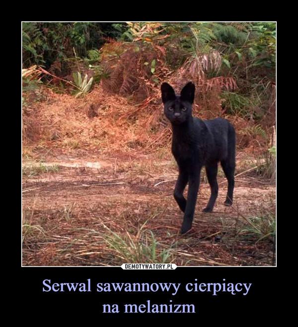 Serwal sawannowy cierpiący na melanizm –