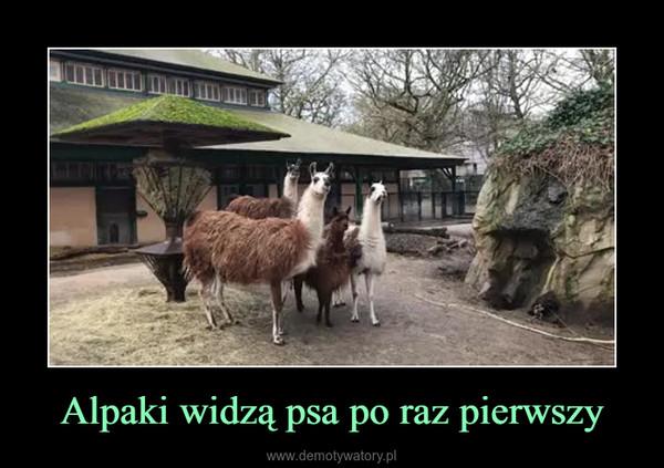 Alpaki widzą psa po raz pierwszy –