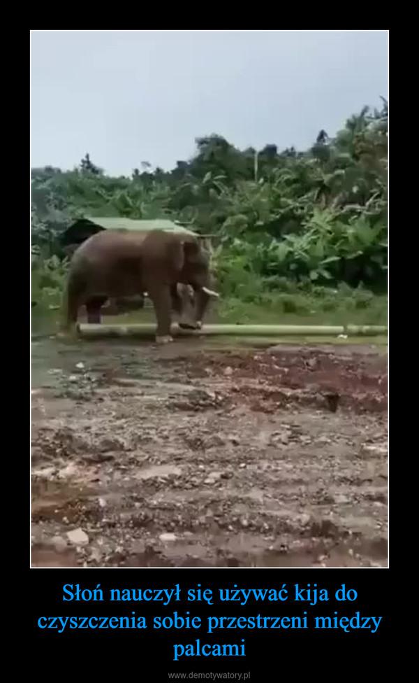 Słoń nauczył się używać kija do czyszczenia sobie przestrzeni między palcami –