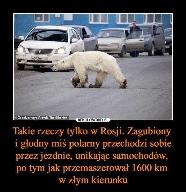Takie rzeczy tylko w Rosji. Zagubiony i głodny miś polarny przechodzi sobie przez jezdnie, unikając samochodów, po tym jak przemaszerował 1600 km w złym kierunku –
