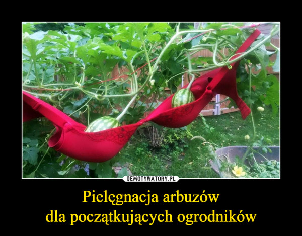 Pielęgnacja arbuzówdla początkujących ogrodników –