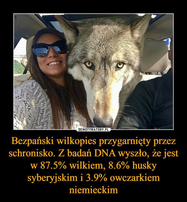 Bezpański wilkopies przygarnięty przez schronisko. Z badań DNA wyszło, że jest w 87.5% wilkiem, 8.6% husky syberyjskim i 3.9% owczarkiem niemieckim –