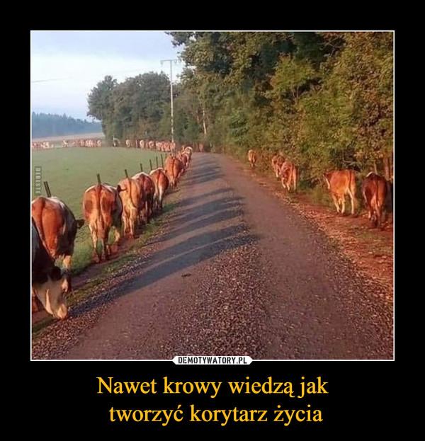 Nawet krowy wiedzą jak tworzyć korytarz życia –