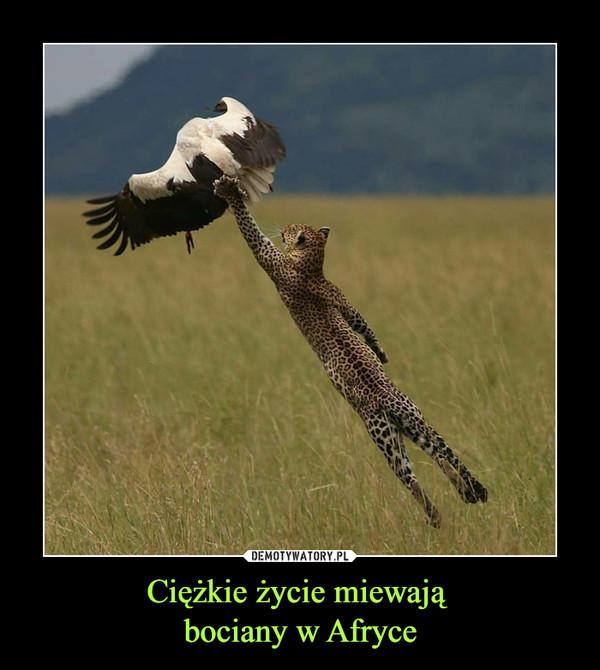 Ciężkie życie miewają bociany w Afryce –
