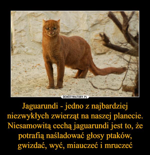 Jaguarundi - jedno z najbardziej niezwykłych zwierząt na naszej planecie. Niesamowitą cechą jaguarundi jest to, że potrafią naśladować głosy ptaków, gwizdać, wyć, miauczeć i mruczeć –
