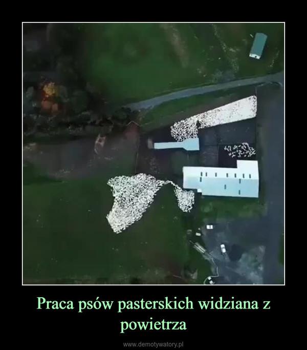 Praca psów pasterskich widziana z powietrza –