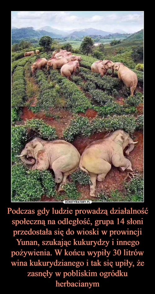 Podczas gdy ludzie prowadzą działalność społeczną na odległość, grupa 14 słoni przedostała się do wioski w prowincji Yunan, szukając kukurydzy i innego pożywienia. W końcu wypiły 30 litrów wina kukurydzianego i tak się upiły, że zasnęły w pobliskim ogródku herbacianym