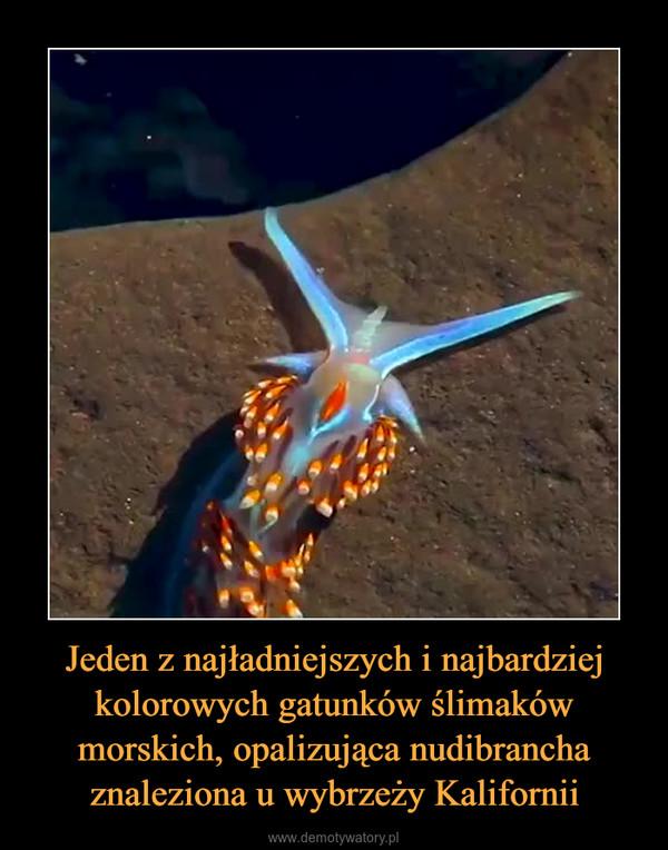Jeden z najładniejszych i najbardziej kolorowych gatunków ślimaków morskich, opalizująca nudibrancha znaleziona u wybrzeży Kalifornii –