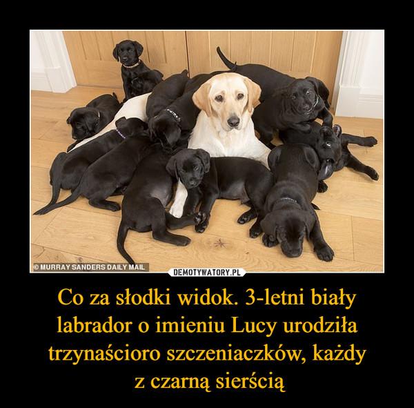Co za słodki widok. 3-letni biały labrador o imieniu Lucy urodziła trzynaścioro szczeniaczków, każdy z czarną sierścią –