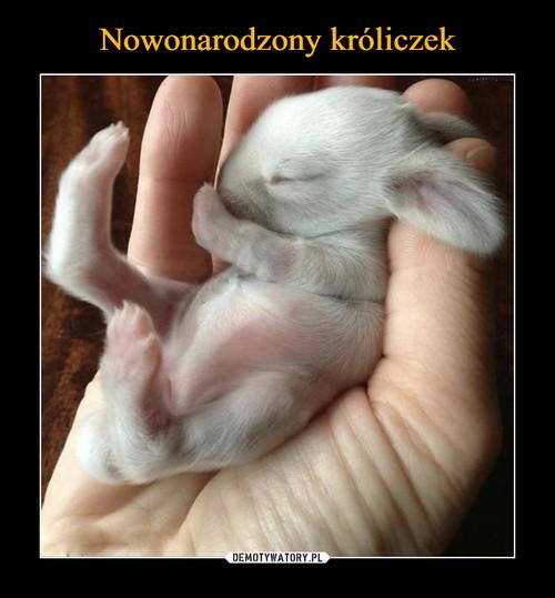 Nowonarodzony króliczek