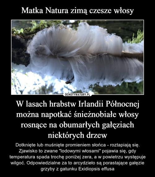 Matka Natura zimą czesze włosy W lasach hrabstw Irlandii Północnej można napotkać śnieżnobiałe włosy rosnące na obumarłych gałęziach niektórych drzew