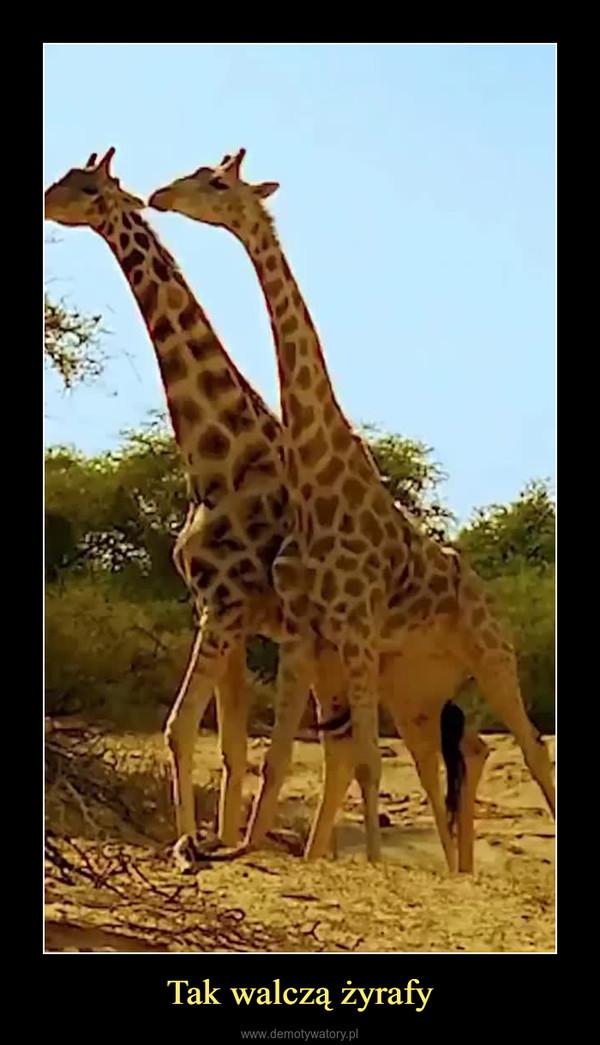 Tak walczą żyrafy –