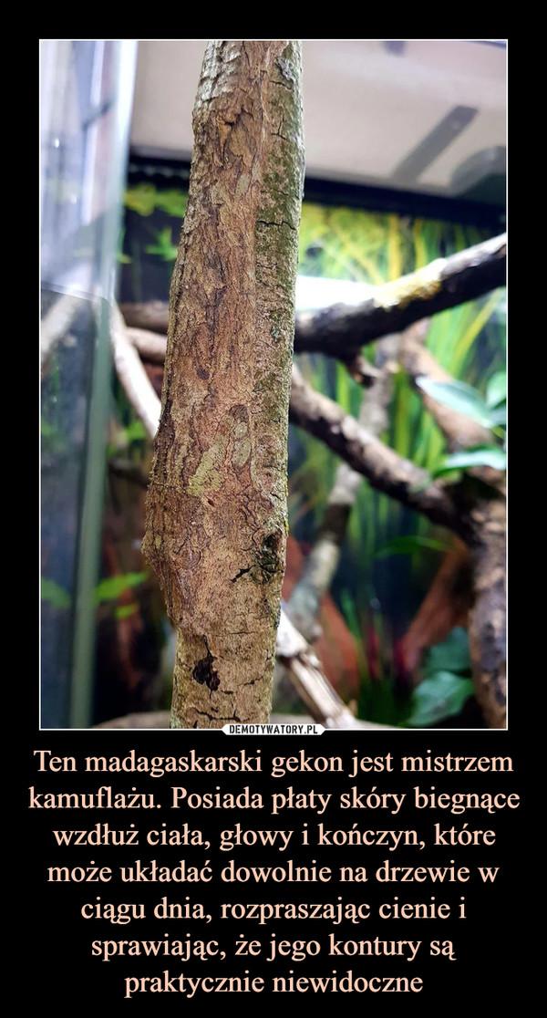 Ten madagaskarski gekon jest mistrzem kamuflażu. Posiada płaty skóry biegnące wzdłuż ciała, głowy i kończyn, które może układać dowolnie na drzewie w ciągu dnia, rozpraszając cienie i sprawiając, że jego kontury są praktycznie niewidoczne –