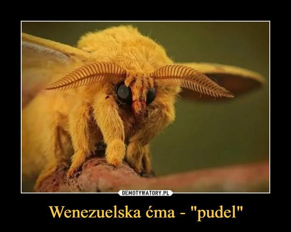 "Wenezuelska ćma - ""pudel"" –"