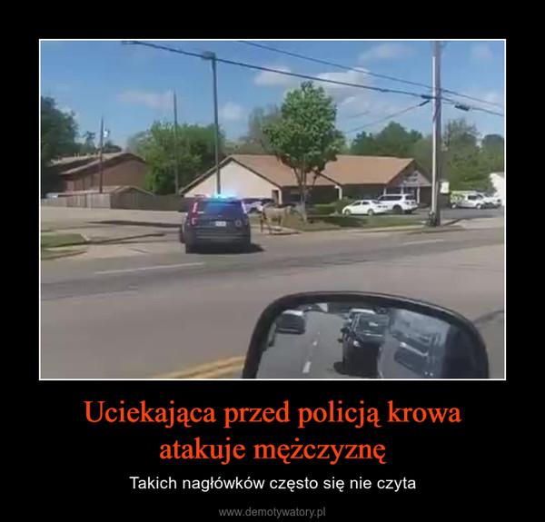 Uciekająca przed policją krowaatakuje mężczyznę – Takich nagłówków często się nie czyta