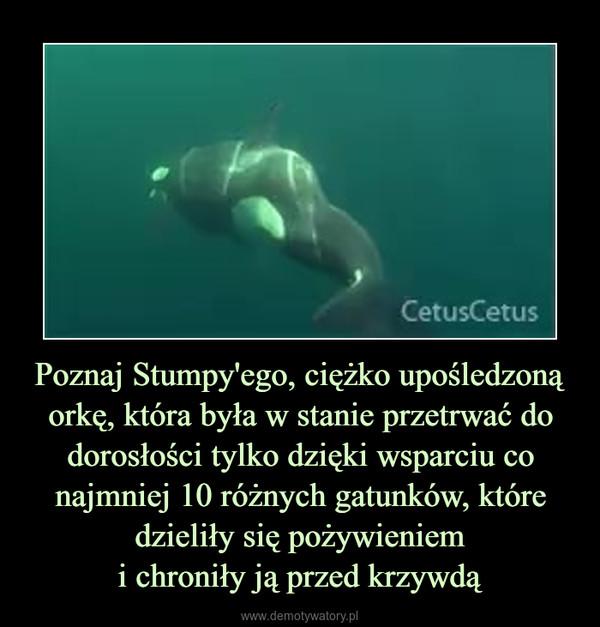 Poznaj Stumpy'ego, ciężko upośledzoną orkę, która była w stanie przetrwać do dorosłości tylko dzięki wsparciu co najmniej 10 różnych gatunków, które dzieliły się pożywieniemi chroniły ją przed krzywdą –